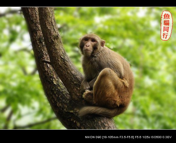 贵阳黔灵公园的猴子